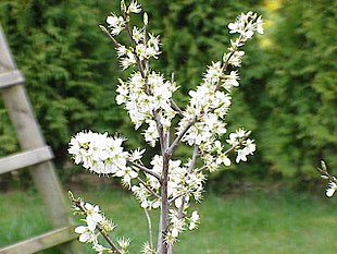 Prunus spinosa1.jpg