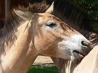 Przewalski-Pferd Fellpflege 2007-06-08 168.jpg