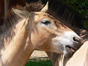 Przewalski Horse preening