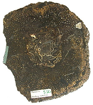 Psaronius - Image: Psaronius section