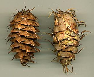 Pseudotsuga menziesii var. glauca - Rocky Mountain Douglas-fir cones Left: Shuswap Lake, British Columbia, Canada Right: Chiricahua Mountains, Arizona, U.S.