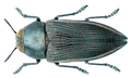 Psiloptera foveicollis Gory, 1840.png
