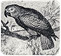 Psittacus erithacus Brockhaus Efron.jpg