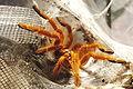 Pterinochilus murinus3.jpg