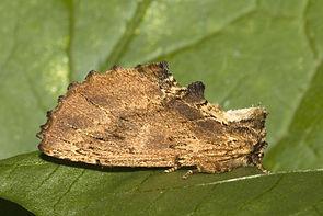 Kamel-Zahnspinner (Ptilodon capucina)