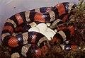 Pueblan Milksnake (Lampropeltis triangulum campbelli) female with eggs ... (36140365626).jpg