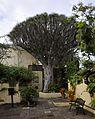 Puerto-Cruz-Drachenbaum.JPG