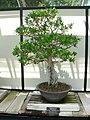 Punica granatum bonsai 1.jpg