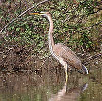 Purple Heron (Immature) I2 IMG 8131