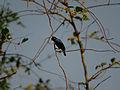 Purple Sunbird Male.jpg