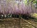 Purple wisteria in Kawachi Wisteria Garden 20150509-13.JPG