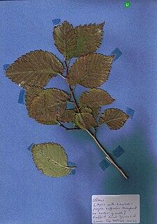 <i>Ulmus minor</i> Purpurascens Elm cultivar