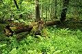 Puszcza białowieska fragmenty rezerwatu ścisłego a8.JPG