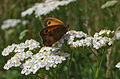 Pyronia tithonus 01.jpg