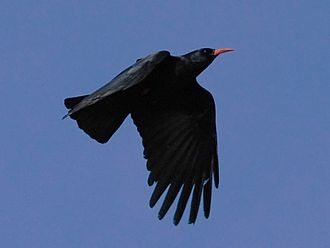 Red-billed chough - P. p. pyrrhocorax; nominate subspecies flying in Cornwall, UK