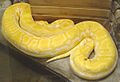 Python molurus albina тигровый питон альбинос.jpg