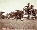 Queensland State Archives 3994 Stud short horn cows Glengallan Station near Warwick 8 May 1894.png