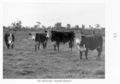 Queensland State Archives 4508 Fat bullocks Gatton College c 1951.png