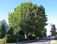 Quercus Robur St-Hyacinthe.jpg