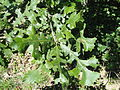 Quercus macrocarpa - University of Kentucky Arboretum - DSC09330.JPG