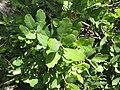 Quercus xmacdonaldii 2.jpg