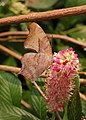 Question Mark Polygonia interrogationis Clethra Flower 2000px.jpg