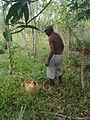 Récolteur de Mangue - Ampiraboka.jpg