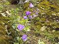 RO BV Campanulaceae.jpg