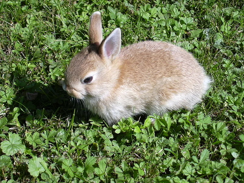 File:Rabbit small.JPG
