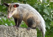 Marsupiale: The pouched Mamiferele