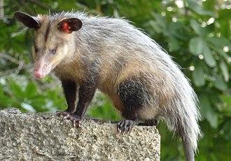 Common opossum - Image: Rabipelao 2