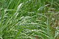 Rain on grass at Holma 2.jpg