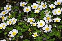 RanunculusPeltatus2.jpg