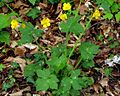 Ranunculus lanuginosus PID1800-2.jpg