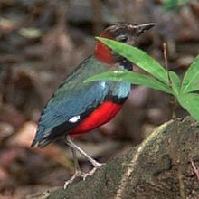 Red-bellied pitta iron08.jpg