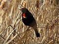 Red-winged Blackbird - Flickr - treegrow (19).jpg