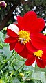 Red Flower and a bee.jpg
