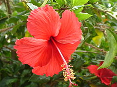 Red Hibiscus in Chennai during Spring.JPG