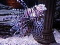 Red Lion Fish (7166990441).jpg
