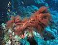 Red cyanobacteria on dead gorgonian (6165864891).jpg