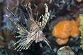 Red lionfish (Pterois volitans).jpg