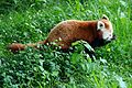 Red panda at Chester Zoo 4.jpg