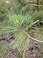 Red pine 1.jpg