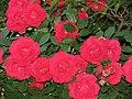 Red rose Bosnia.JPG