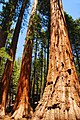 Redwoods in Yosemite National Park (4540355098).jpg