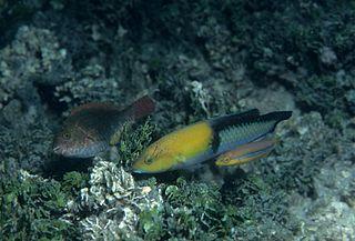 Yellowhead wrasse species of fish
