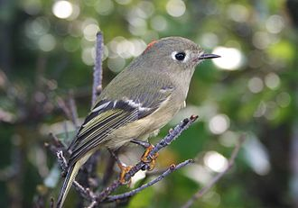 Ruby-crowned kinglet - Male in Anchorage, Alaska