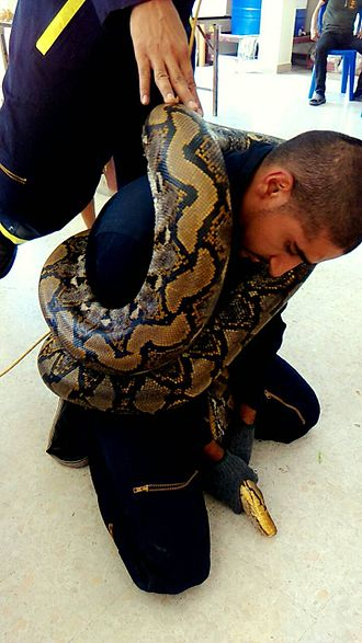 Reticulated python - Large reticulated pythons are occasionally found on the outskirts of Bangkok. Usually, a minimum of 2 people are required to successfully extract such a large snake.