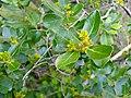 Rhamnus alaternus1627.JPG