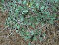 Rhamnus rubra Sierra coffeeberry branch.JPG